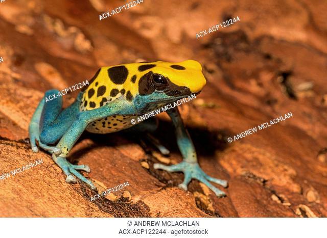 Dendrobates tinctorius 'Patricia' - captive bred