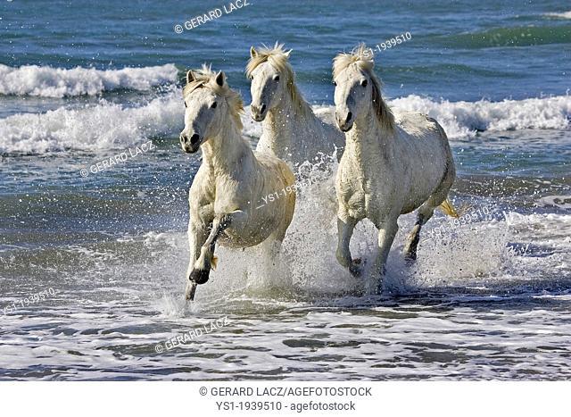 Camargue Horse Galloping on Beach, Saintes Maries de la Mer, Camargue in the South of France