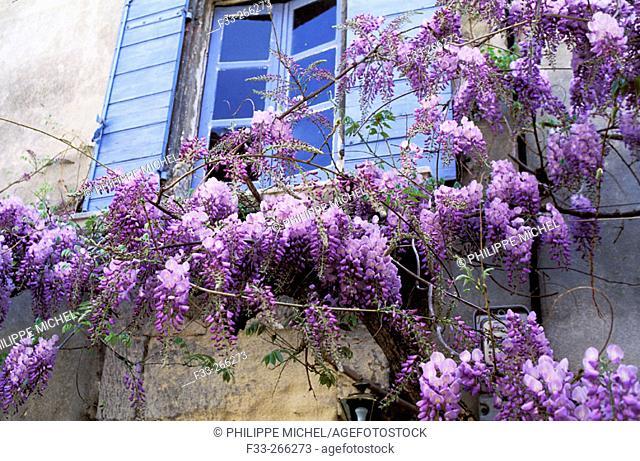 Wisteria. Saint Remy de Provence. Bouches du Rhone. Provence. France