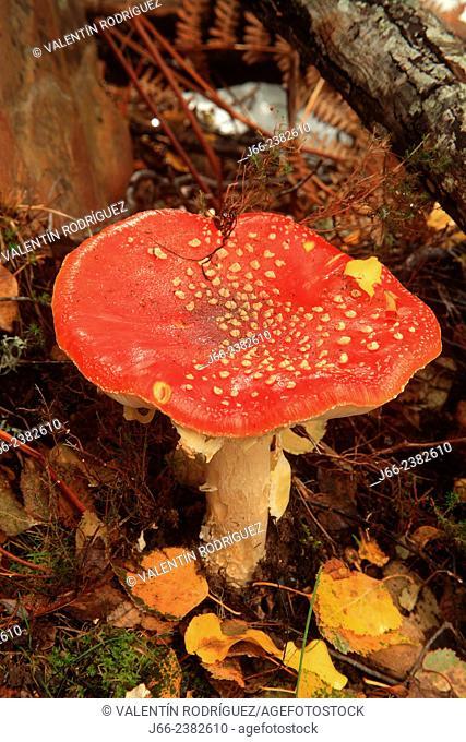mushroom (Amanita muscaria) on rute from Los Navalucillos, national park Cabañeros. Ciudad Real. Castilla la Mancha. Spain