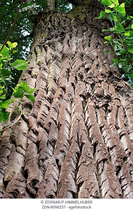 Populus nigra, Echte Schwarzpappel, Black poplar