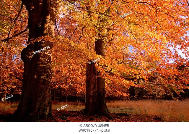 Beeches, in, autumn, Lower, Saxony, Germany,Fagus, sylvatica