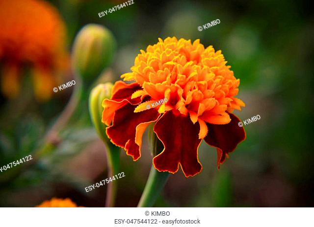 Macro of orange marigold flower in big close up