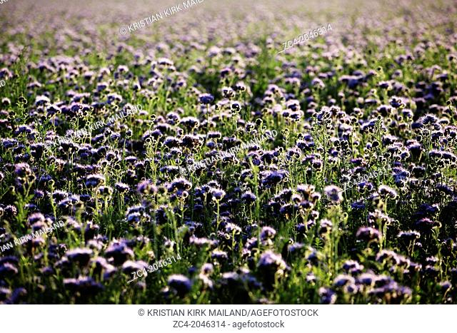 Nice purple field of phacelia tanacetifolia. Scandinavia
