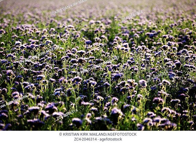 Nice purple field of phacelia tanacetifolia. Scandinavia