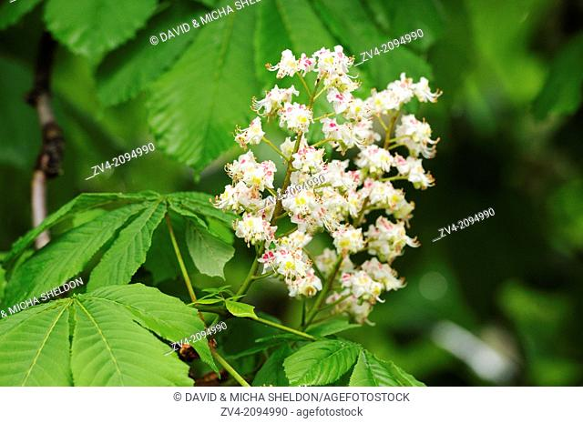Close-up of horse-chestnut or conker tree (Aesculus hippocastanum) blossoms in spring
