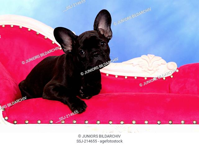 French Bulldog. Puppy (12 weeks old) lying on a chaise longue. Studio picture against a blue background. Germany