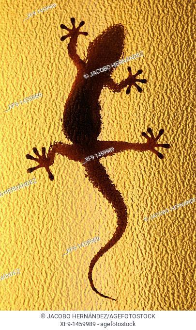 Moorish Gecko. Tarentola mauritanica. Badajoz. Extremadura. Spain