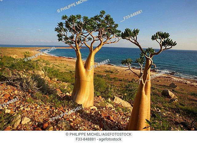 Desert-rose (Adenium obesum socotranum), Dihamri beach, Socotra island, Yemen