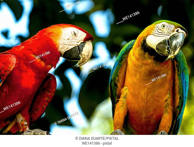 ' Scarlet macaw', (Ara macao), As strong migratory birds, the macaws have adapted a low-pitched and throaty squawk intended to reverberate for miles