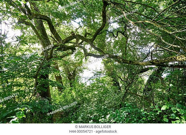 Meadow, nature reserve, deciduous forest, dead wood, NSG, NSG 174, NSG 174 Archer Inseli-Widi, meadow, foliage mixed forest, oak, oaken wood, handle oak