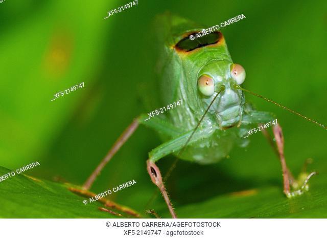 Mimetic Grasshopper, Tropical Rainforest, Costa Rica, Central America, America