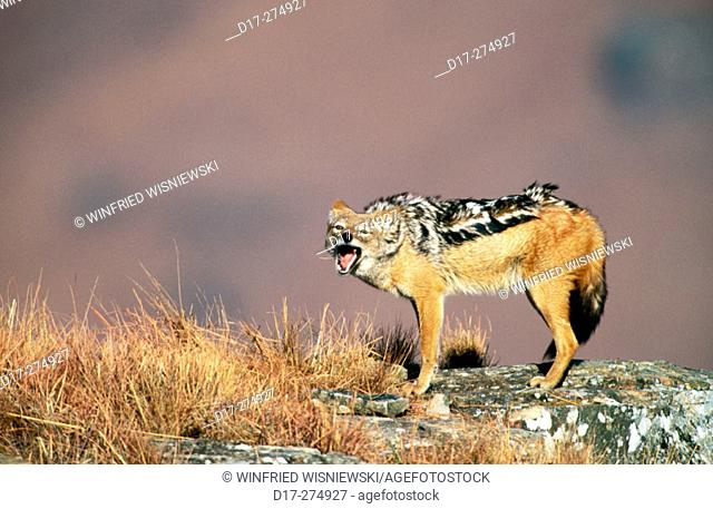 Black- backed Jackal (Canis Mesomeles). South Africa