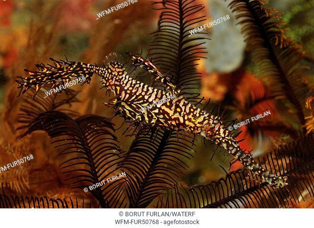 Harlequin Ghost Pipefish, Solenostomus paradoxus, Alor, Lesser Sunda Islands, Indo-Pacific, Indonesia