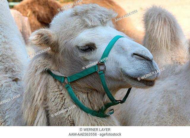 Bactrian Camel. Asia