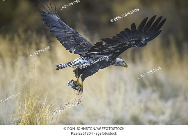 Bald eagle (Haliaeetus leucocephalus)- Attracted to sockeye salmon run on the Chilko River, Chilcotin Wilderness, BC Interior, Canada