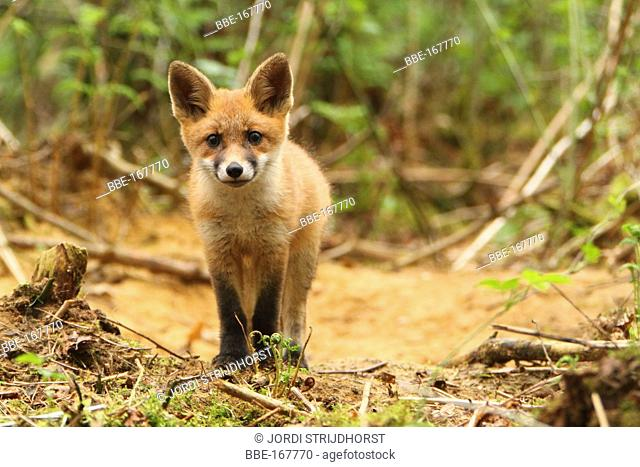 Portret of a young fox
