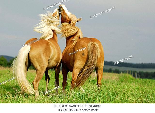 fighting ponies