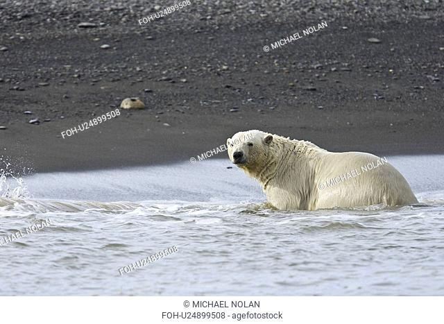 Adult male polar bear Ursus maritimus on the beach near pack ice in Isbukta Ice Bay in the Barents Sea off the eastern coast of Spitsbergen in the Svalbard...