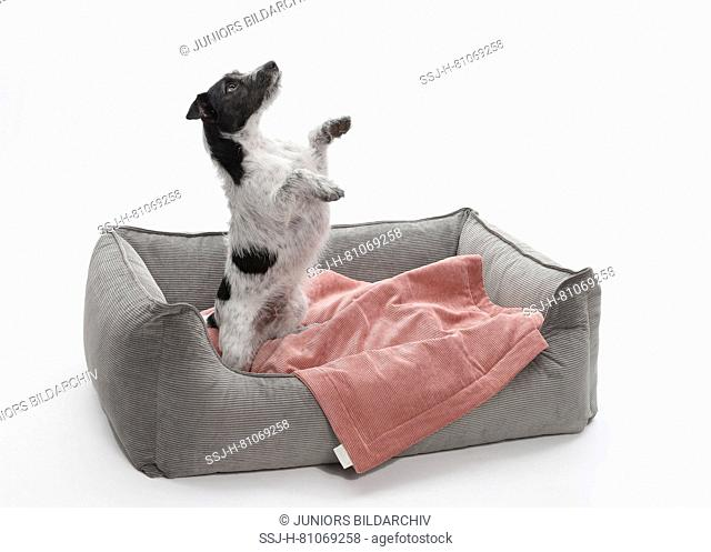 Jack Russell Terrier. Adult dog (2 years old) standing upright in a pet bed. Germany
