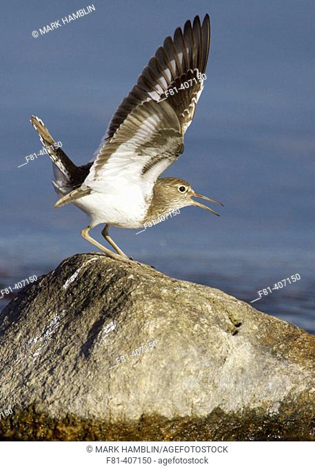Common Sandpiper (Actitis hypoleucos) perched on rock, calling, wings raised. Scotland, UK