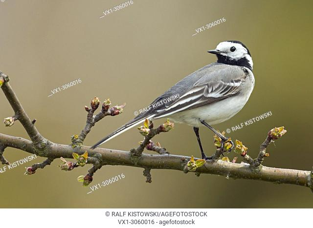 Pied Wagtail ( Motacilla alba ), adult in breeding dress, perched, sitting on a twig of a cherry tree, watching back, wildlife, Europe