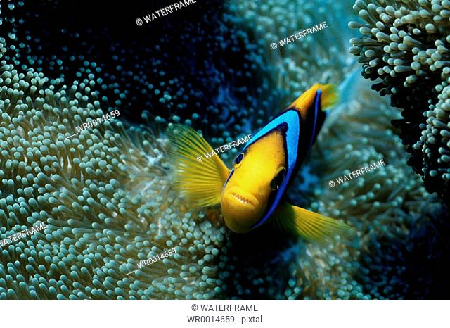 Orange-fin Anemonefish, Amphiprion perideraion, Pacific, Micronesia, Palau