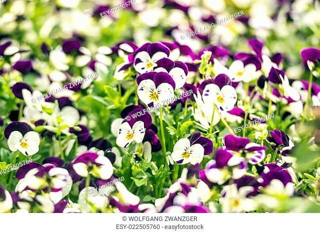 Beautiful pansy flowers in garden