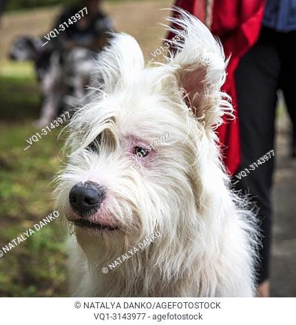 portrait white half-breed Ardennes Bouvier, close up