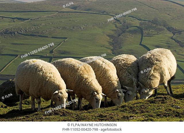 Domestic Sheep, Lleyn ewes, five grazing in field, England