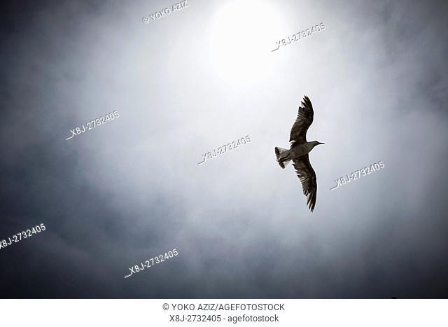 Morocco, Essaouira, seagull