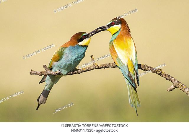 Pair of bee-eaters (Merops apiaster) during courtship, Montgai, Lleida, Spain