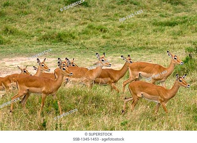Impala Aepyceros Melampus in a forest, Masai Mara National Reserve, Kenya
