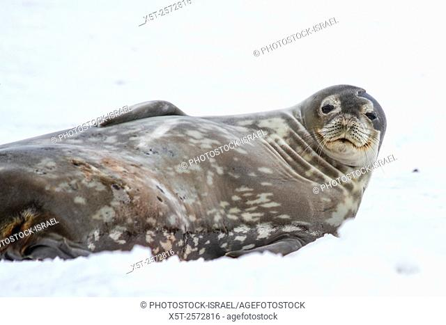 Weddell seals (Leptonychotes weddellii). Mother and pup lying on sea ice. Weddell seals are born singly. They have fine soft hair (lanugo) that turns to a dark...