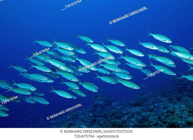 Shoal of Gold-banded Fusilier, Caesio caerulaurea, Ulong Channel, Micronesia, Palau