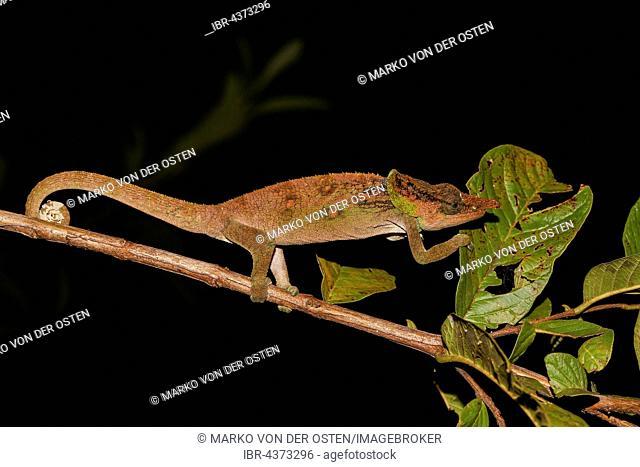 Malthe Chameleon (Calumma malthe) male, Analamazoatra, Andasibe-Mantadia National Park, eastern Madagascar, Madagascar