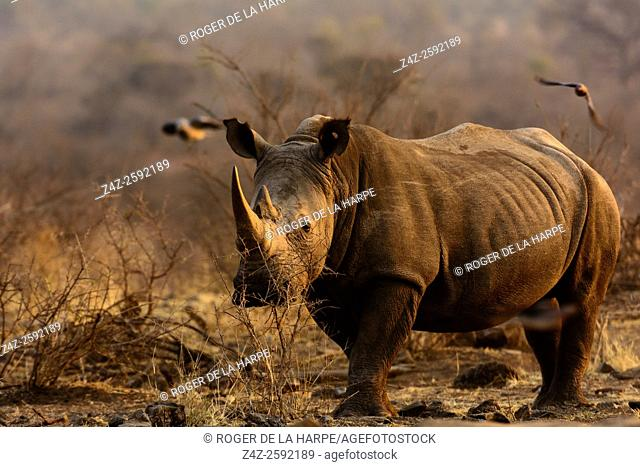 White rhinoceros or square-lipped rhinoceros (Ceratotherium simum). Madikwe Game Reserve. North West Province. South Africa