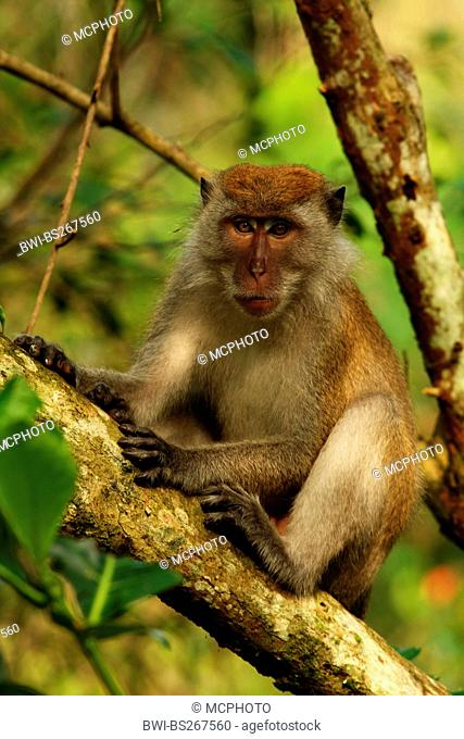 Crab-eating Macaque, Java Macaque, Longtailed Macaque Macaca fascicularis, Macaca irus, male resting on a branch, Malaysia, Sarawak, Bako National Park