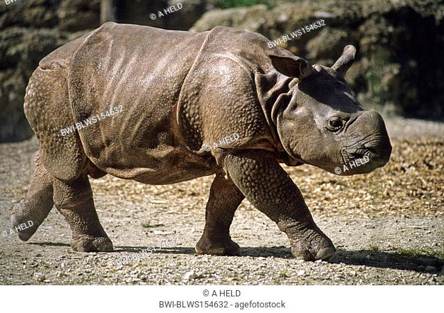 greater Indian rhinoceros, great Indian One-horned rhinoceros Rhinoceros unicornis, pup