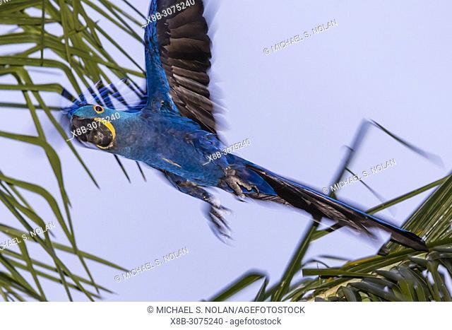 Hyacinth macaw, Anodorhynchus hyacinthinus, in flight Pouso Alegre Fazenda, Mato Grosso, Brazil