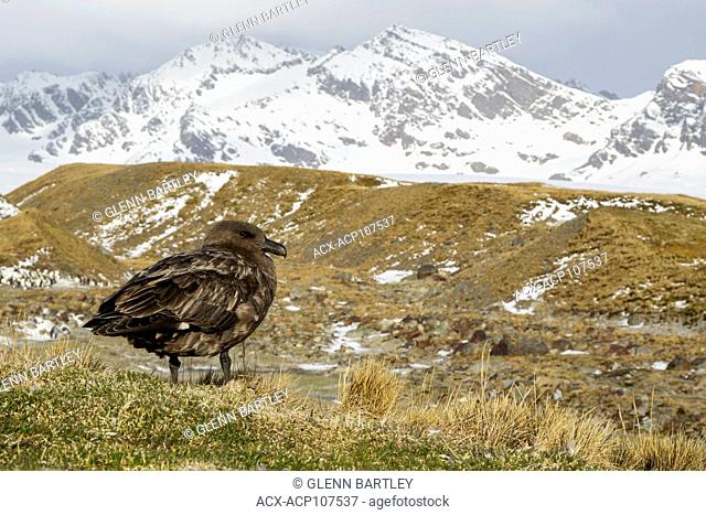 Brown Skua (Stercorarius antarcticus) perched on tussock grass on South Georgia Island