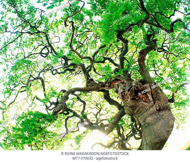 Beech tree (Fagus sylvatica). Torna Hällestad. Skåne. Sweden. Scandinavia