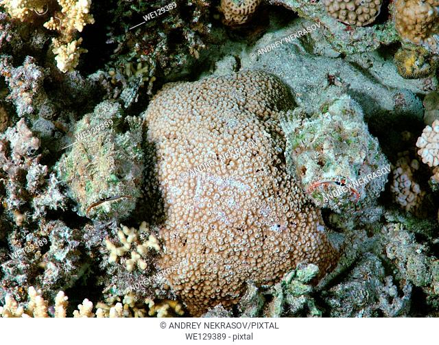 camouflage two reef stonefish or simply stonefish (Synanceia verrucosa) Red sea, Egypt, Africa