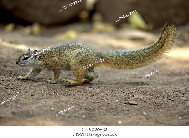 Tree Squirrel, Smith's bush squirrel, yellow-footed squirrel, (Paraxerus cepapi), adult, Kruger Nationalpark, South Africa, Africa