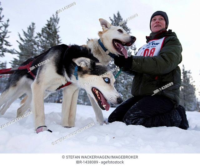 Exited sled dogs at the start line, lead dogs, leaders, Alaskan Huskies, held out by handler, Carbon Hill dog sled race, Mt