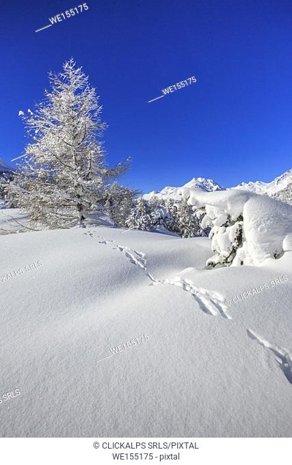 The winter sun shines on the snow covered woods and the landscape around Maloja Canton of Graubünden Engadine Switzerland Europe