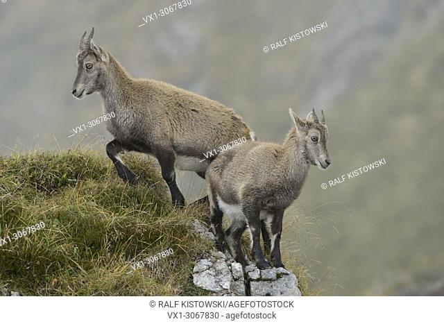 Two young Alpine ibex (Capra ibex) climbing on some rocks in wild high mountains range, wildlife, Switzerland. Europe