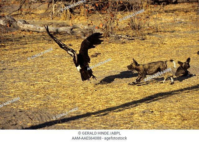 Cape Hunting Dogs (Lycaon pictus), Pup & Hooded Vulture, Khwai River, Moremi, Botswana