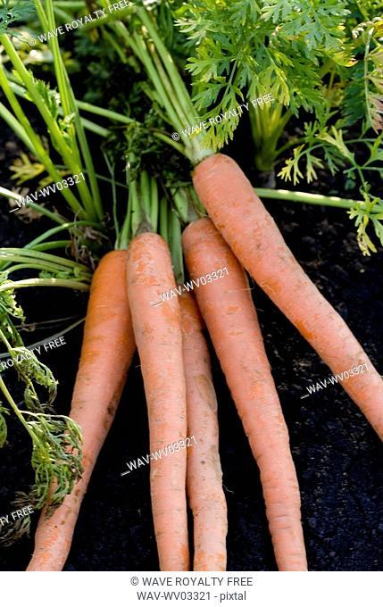 Five carrots in organic garden, Manitoba, Canada