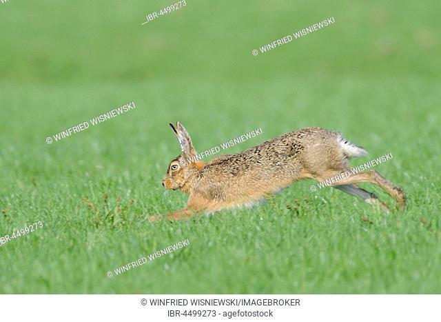 Running european hare (Lepus europaeus), Texel Island, The Netherlands